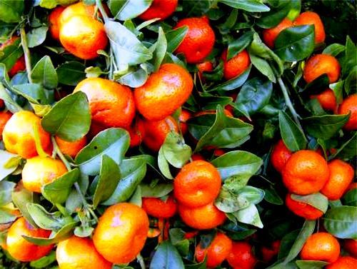 Honey tangerine (3)