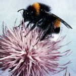 Bumble bee sting (1)