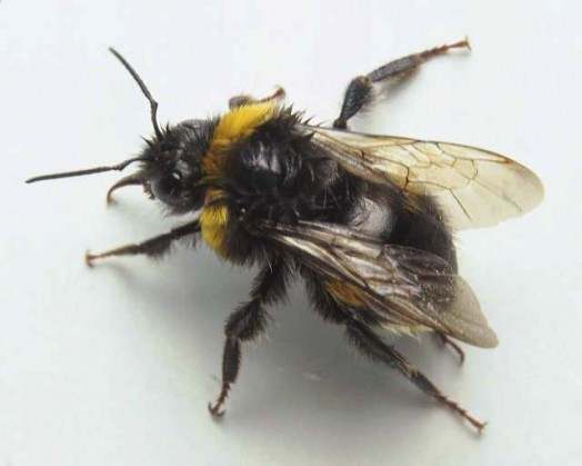 Male bumblebees do not have sting .
