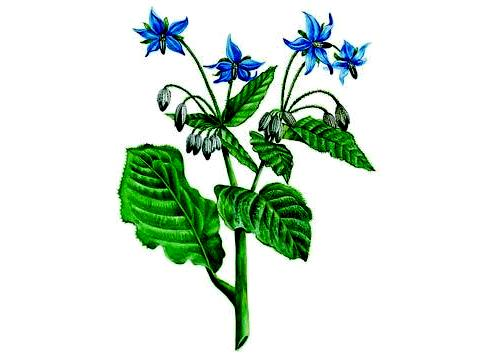 Borage honey (1)