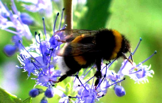 bumble bees pictures4