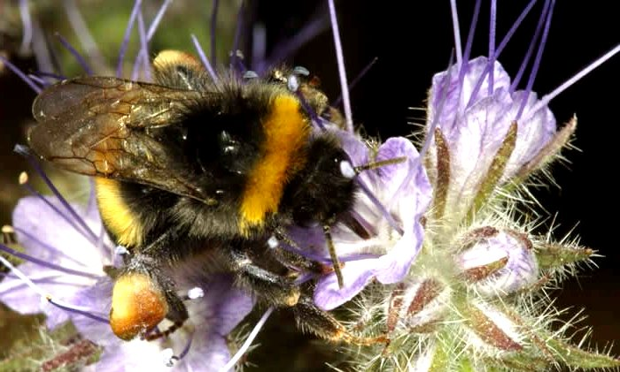 bumble bees pictures5