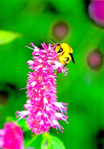 Bumble bees pictures (7)