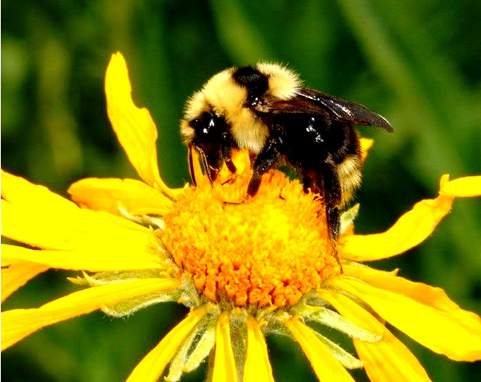 bumble bees pictures8
