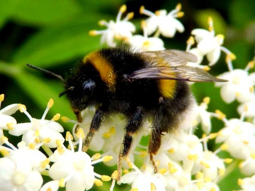 Bumble bees pictures (11)