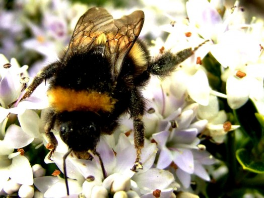 Bumble bees pictures (12)