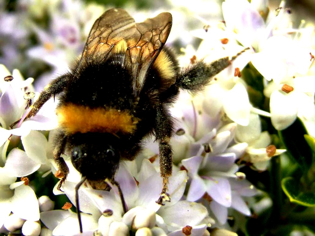 bumble bees pictures92