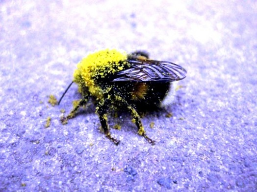 Bumble bees pictures (14)