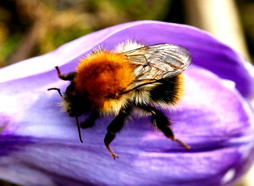 bumble bees pictures95
