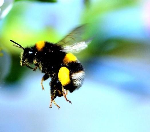 Bumble bees pictures (17)