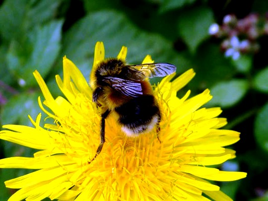 bumble bees pictures98