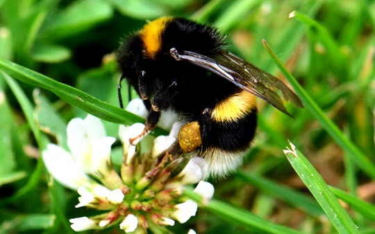 bumble bees pictures997
