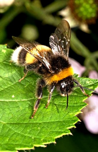 Bumble bees pictures (27)