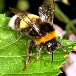 Bumble bees pictures