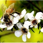 Manuka honey against stomach ulcer