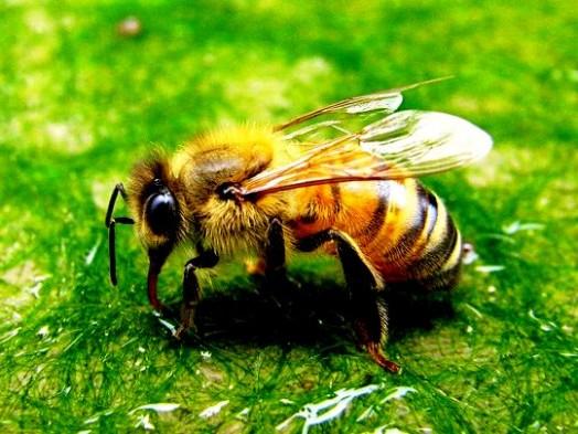 Bee sting urine