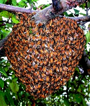 Bee swarms1