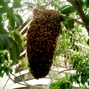 Bee swarms (3)