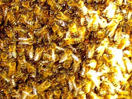 Essaims d'abeilles (2)