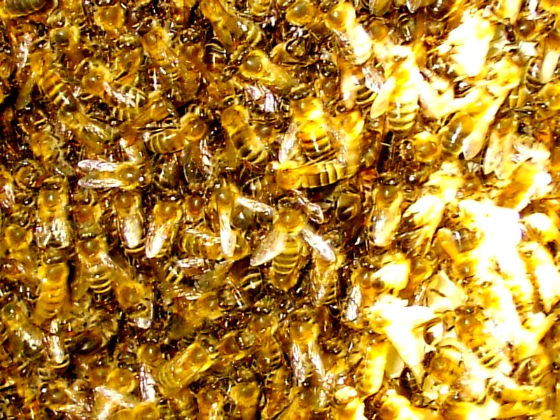 Bee swarms3