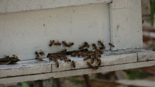 Bees in Thailand (1)