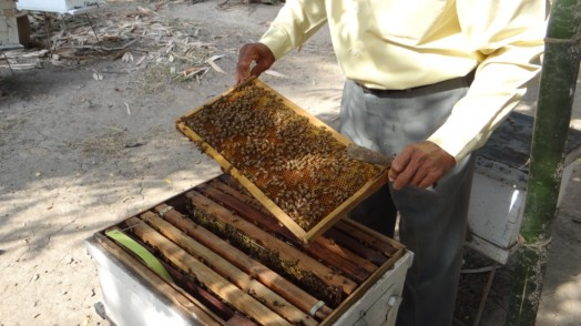 Bees in Thailand (25)