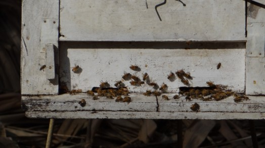 Bees in Thailand (24)