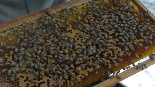 Bees in Thailand (20)