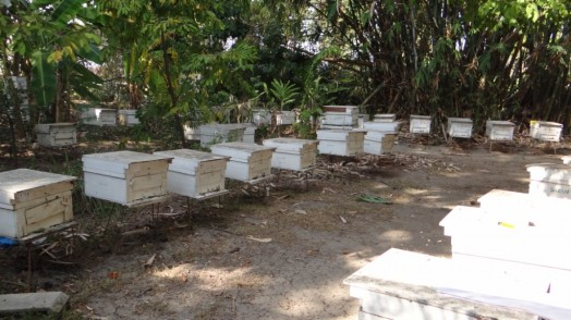 Bees in Thailand (16)