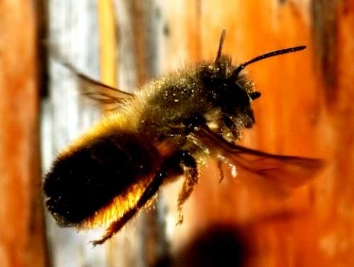 Mason bees (2)