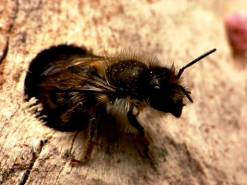 Mason bees (6)