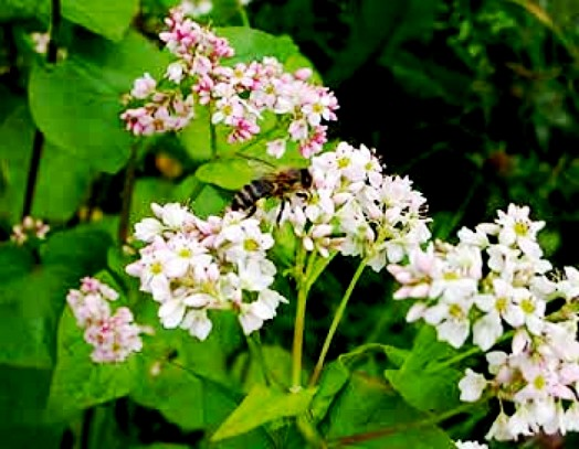 Plants for bees - honey plants (6)