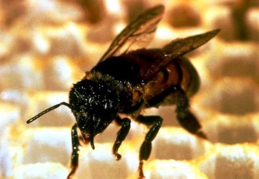 Qu'est-ce que l'abeille en Afrique du Sud (2)
