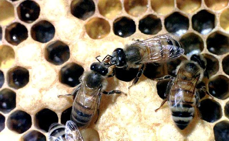 Worker bee1
