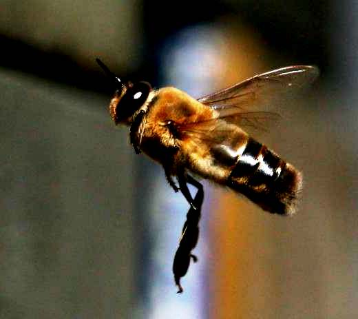 drone bee3