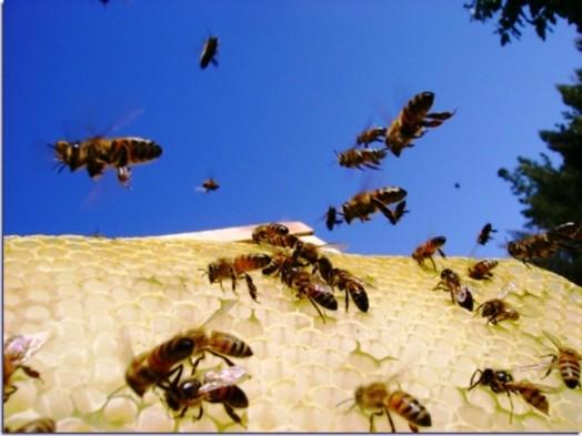 Les faits sur les abeilles (3)