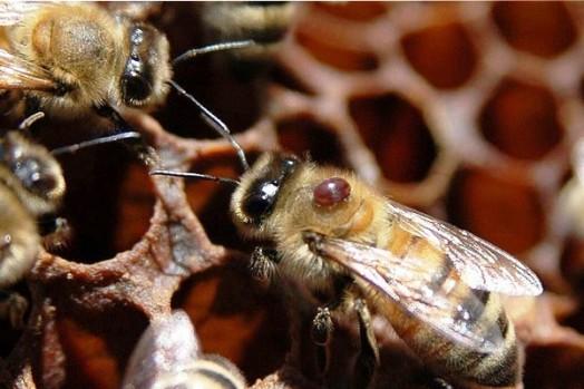 Les faits sur les abeilles (5)