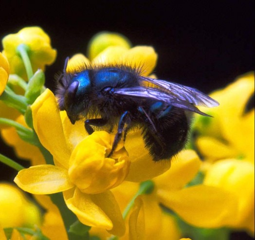Blue bee (1)