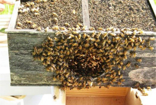 Live bees (3)