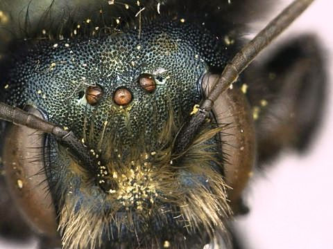 Blue bee (3)