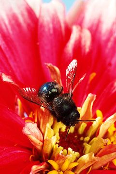 Blue bee (4)