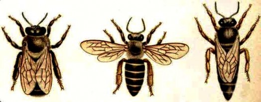 Species of bees (1)