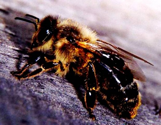 Species of bees (2)