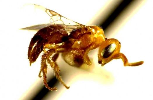 Espèces d'abeilles (3)