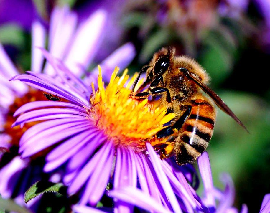 Species of bees3