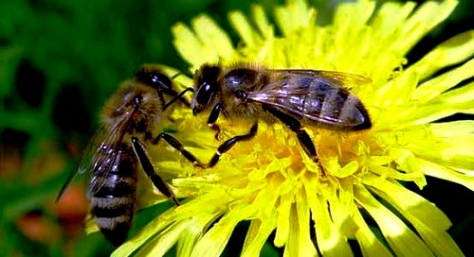 Species of bees (5)