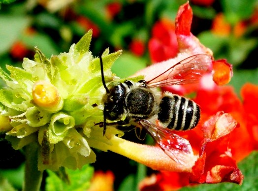 Species of bees (9)