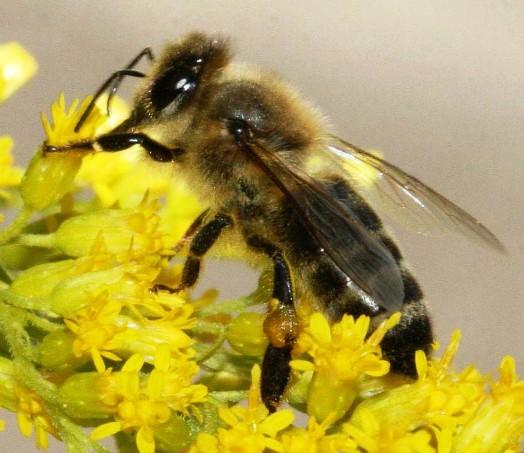 Black bees (4)