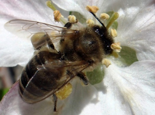 Black bees (5)