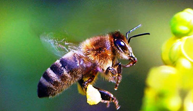 Black bees5